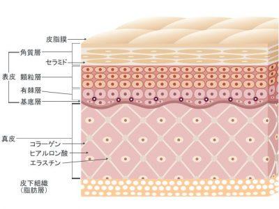 セラミド構造