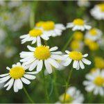 アトピーや敏感肌に無添加入浴剤カモミールの抗アレルギー作用かゆみ解消
