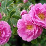 「ダマスクバラ花水」の保湿効果と香りの効能で女性ホルモンを整える作用
