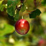 リンゴ幹細胞エキス「JFエッセンス」美容液の効果!50代の肌が変わる