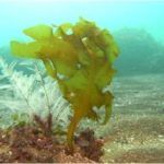 海藻のポリフェノール!脂肪を吸収する天然のダイエット成分